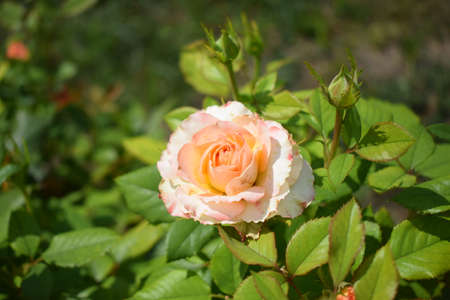 Beautiful bushy beige roses close-up. Beautiful rose with beige and pink petals and green leaves in the garden. Colorful blooming. Summer blossom. Nature concept