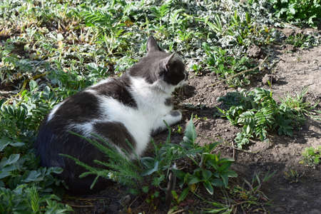 A beautiful, furry cat is resting on a shaded lawn. Black and white cat on the grass.