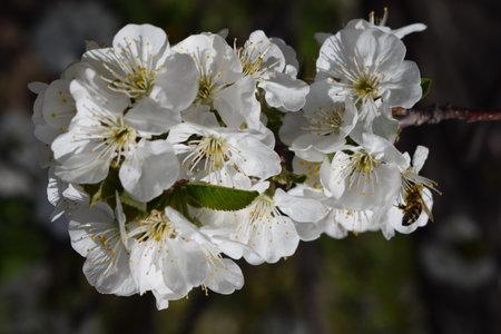 Cherry blossom - Sakura macro. Sakura flower tree in garden background