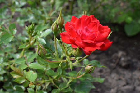 Beautiful red rose with buds in garden. Cyme of small red rose flowers and buds. Lovely blooming red color rose flower as a natural background.