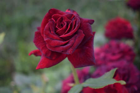 Red Rose on the Branch in the Garden. Red roses in in Full Bloom. Stunningly magnificent romantic beautiful velvety red fully blown hybrid roses blooming 免版税图像