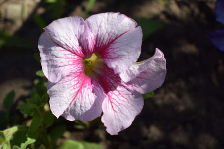 Pink Petunia Flowers, Close Up. Petunias are one of the most popular flowers because of their long flowering period.