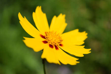 Beautiful yellow flowers Coreopsis lanceolata. Taken in the Early summer. Yellow flowers of lance-leaved coreopsis in garden with selective focus and bokeh 免版税图像