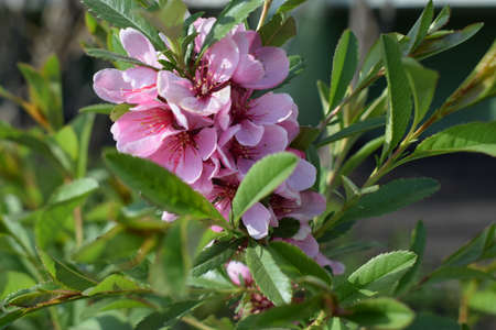 Sakura blossom in springtime, beautiful pink flowers in nature condition. Pink flowers and buds of dwarf Russian almond (Prunus tenella Batsch). Spring flowering dwarf almond. Shallow depth of field