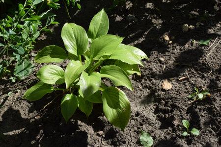 The green leaves of Hosta in summer. Green life concept. Decorative garden plant Hosta. Large green leaves hosta background.