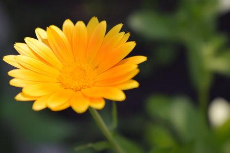 Orange calendula flowers. Blooming marigold flowers. Fresh organic calendula marigold flowers background. Medicinal herbs. Summer marigold flowers.