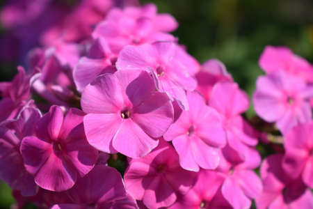 Pink phlox. Purple flowers phlox paniculata. Flowering branch of purple phlox in the garden on a sunny day. Copy space. Soft blurred selective focus.