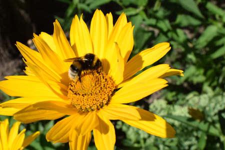 Bumble bees or honeybees pollinating on false sunflowers or Heliopsis helianthoides in the garden on a summer day. Yellow heliopsis closeup 免版税图像
