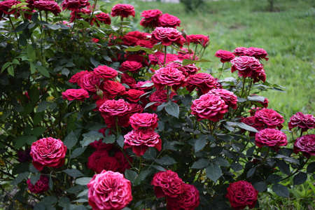 Beautiful red roses grow in the garden. Weaving roses. A lot of green leaves. Many red wild roses in nature. Red roses bunches grow in park. a bush of red roses in a green garden 免版税图像