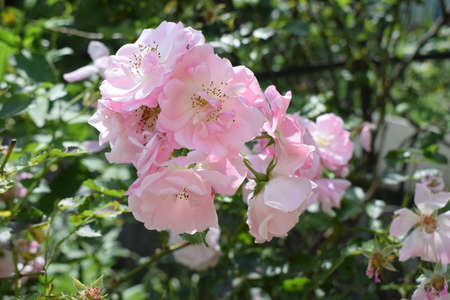 Colorful, beautiful, delicate rose in the garden. Pink roses in the garden with background blurred. 免版税图像