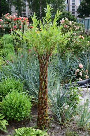 Danish roots, willow, wicker trees, garden composition. Wicker tree, willow garden composition. Willow palm and Roses bed on garden landscape