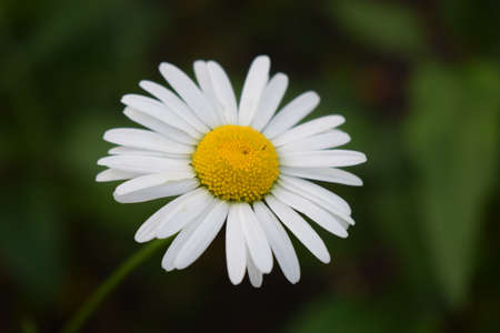 One Daisy close-up on a green background. Wild chamomile close up. Summer season. (ox-eye daisy, Leucanthemum vulgare). White petals of common daisy flower plants with green blurred background 免版税图像