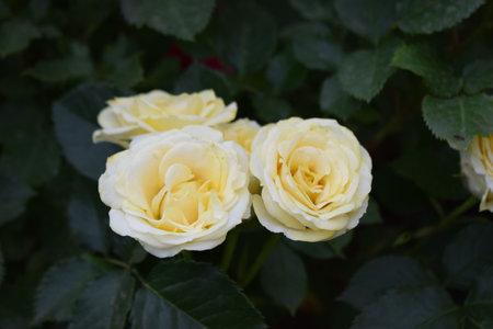Some orange yellow roses in the garden. Beautiful yellow roses in a garden on sunny day