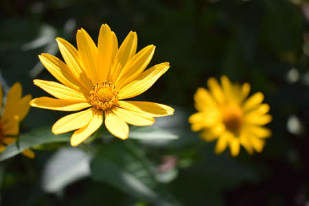 Yellow flowers. Blooming flowers in the garden. Heliopsis. Sunflower family. Yellow daisy flowers. Close-up. Wild Flower, easy to grow. Called as False Sunflower. Similar to the daisy.