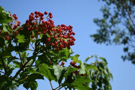 Macro photo nature viburnum berries. Nature plant tree brunch of viburnum. Red juicy viburnum berries on brunch. Red viburnum berries on a branch in the garden. Viburnum viburnum opulus berries and leaves 免版税图像