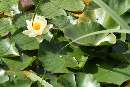 Yellow lotus flowers blooming in a beautiful lotus pond.