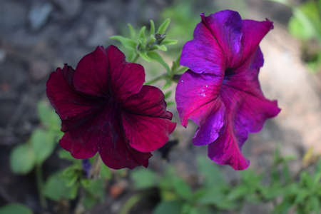 A Perfectly Pink Petunia on a Petunia Plant. Petunia flowers close-up in the sunlight. Macro. Sample. Garden flowers.