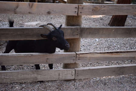 Funny Cute black goat detailed portrait. Village farm with domestic animals. Cute black goat with horns stuck his head through the fence on the farm