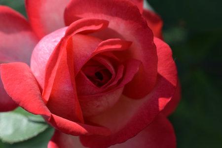 Bush Pink rose on a blurry dark green leafy background in the garden