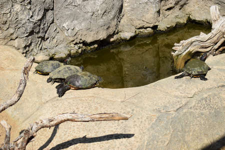 Turtles taking a sunbath on rock near pond. Group turtles in the sun on pond. Aquatic turtles resting on a rock out of the water