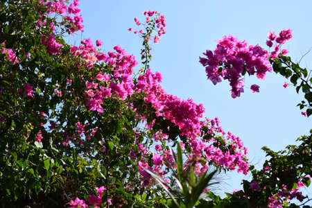 Purple bougainvillea flowers. Bougainvillea is a popular ornamental plant. Its beauty comes from its sheath of flowers, which are brightly colored and attract attention. Bougainvillea. Violet flower