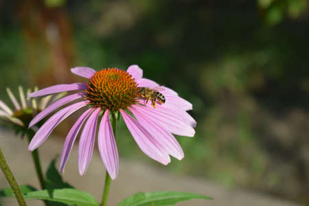 Detailed Closeup of Beautiful Pink or Purple Coneflowers, (Echinacea purpurea), With Bee Gathering Pollen and Drinking Nectar.