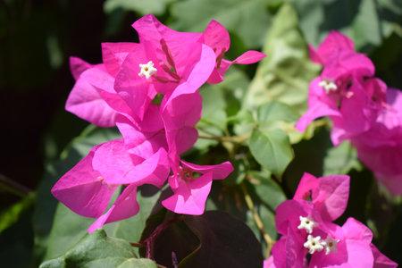 Lesser bougainvillea (Bougainvillea glabra), bougainvillea flowers close-up, macro, view. Bougainvillea flowers texture and background. Red flowers of bougainvillea tree. 免版税图像