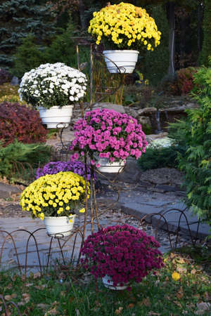 Beautiful and colourful fresh autumn chrysanthemums in red, yellow, purple, white, orange and pink bouquets. Beautiful bright chrysanthemums bloom in autumn in the garden. 免版税图像
