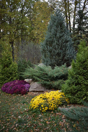 lanscape design. beautiful garden of blue spruce, bright yellow chrysanthemum and other vegetation, paths with pebbles for a walk. Autumn Floral Landscape. Garden Landscaping Design. 免版税图像