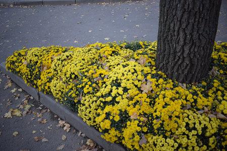 Yellow Chrysanthemum Flowers. Yellow flowerbed from beautiful chrysanthemums at autumn day 免版税图像