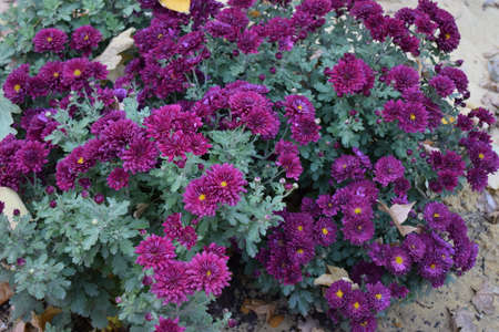 Chrysanthemums blossom in the autumn garden. Background with gentle lilac chrysanthemums. Purple chrysanthemum flower blooming in garden 免版税图像