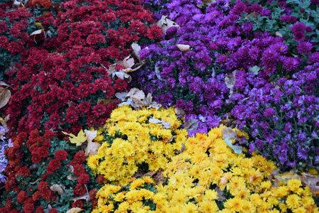 Beautiful Wallpaper of different chrysanthemum flowers. Nature Autumn Floral background. Chrysanthemums blossom season. Many Chrysanthemum flowers 免版税图像