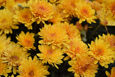 Unwrapped flowers of yellow chrysanthemums. Yellow chrysanthemums in the park in autumn 免版税图像