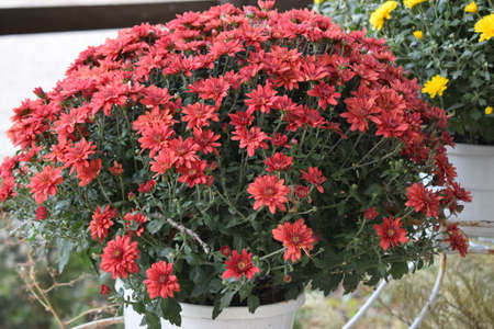 Close-up of beautiful red chrysanthemums. Red chrysanthemums on a blurry background close-up. Beautiful bright chrysanthemums bloom in autumn in the garden. Lots of red flowers. 免版税图像
