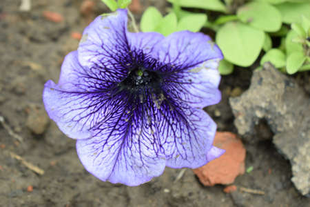 Blue Vein Petunia, Petunia atkinsoniana 'Blue Vein', also known as P. hybrida, fast growing cultivar with green leaves and medium sized white flowers with bluish purple veins, baskets and pots. , Stock Photo