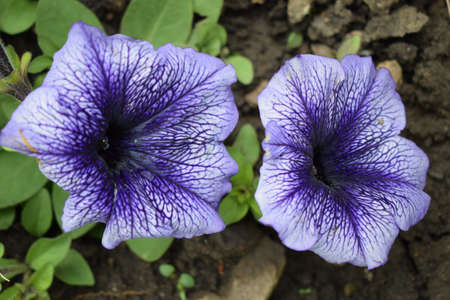 Petunia large-flowered Limbo Blue Veined. Flower of a petunia one-year white and violet color in a garden against the background of green leaves.