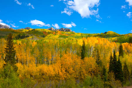 Autumn Fall colors of the Aspen groves in Kebler Pass near Crested Butte Colorado America. Foliage of aspens turn to yellow and orange leaves Stock Photo