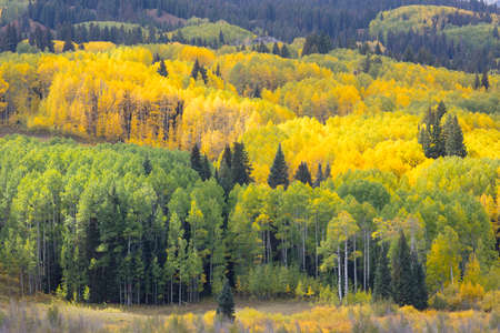 Autumn Fall colors of the Aspen groves in Kebler Pass near Crested Butte Colorado America. Foliage of aspens turn to yellow and orange.