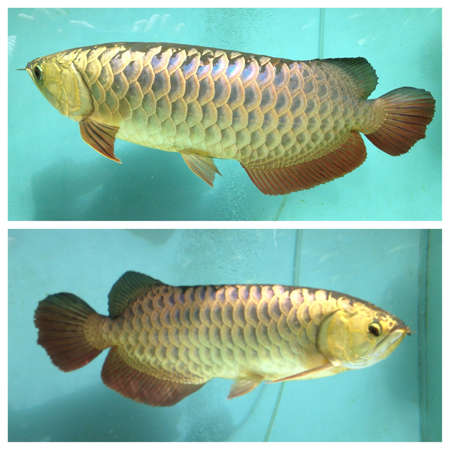 arowana: Arowana, dragonfish Stock Photo