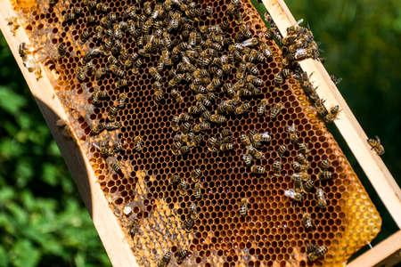 Beekeeper making fresh golden honey from his honey bees