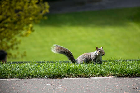 Squirrel red fur funny pet on green background wild animal in Edinburgh