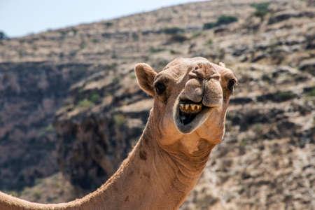 wildlife Camel looking funny inside Camera in Oman salalah landscape Arabic 2