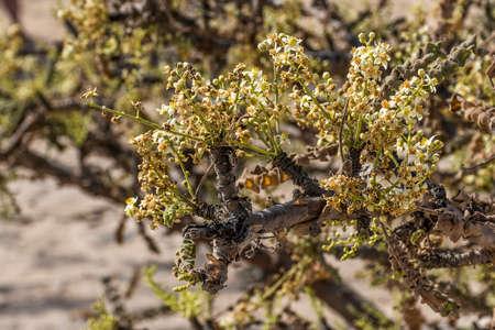 Frankincense tree plants plantage agriculture growing in a desert near Salalah, Oman 2 Standard-Bild