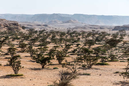 Frankincense tree plants plantage agriculture growing in a desert near Salalah, Oman 4