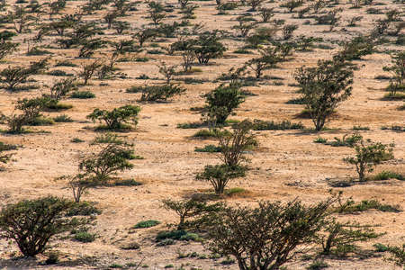 Frankincense tree plants plantage agriculture growing in a desert near Salalah, Oman 5