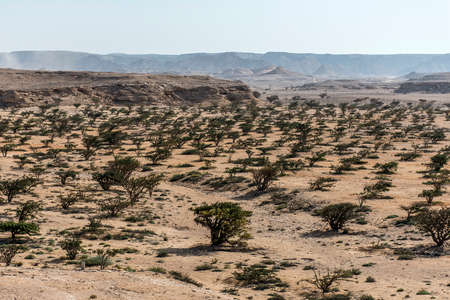 Frankincense tree plants plantage agriculture growing in a desert near Salalah, Oman 6