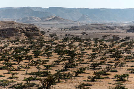 Frankincense tree plants plantage agriculture growing in a desert near Salalah, Oman 7
