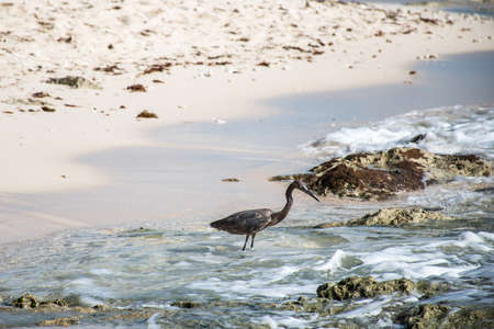 Mexican heron bird beach del carmen Yucatan 2 Stock Photo