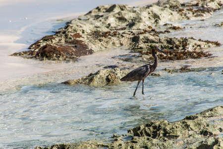 herodias: Mexican heron bird beach del carmen Yucatan 4 Stock Photo