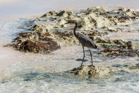 Mexican heron bird beach del carmen Yucatan 7